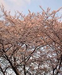 220410桜20100410170626