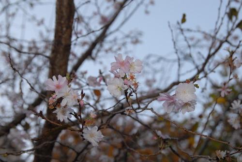 10月桜DSC_6853