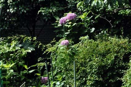 270606紫陽花DSC_4497