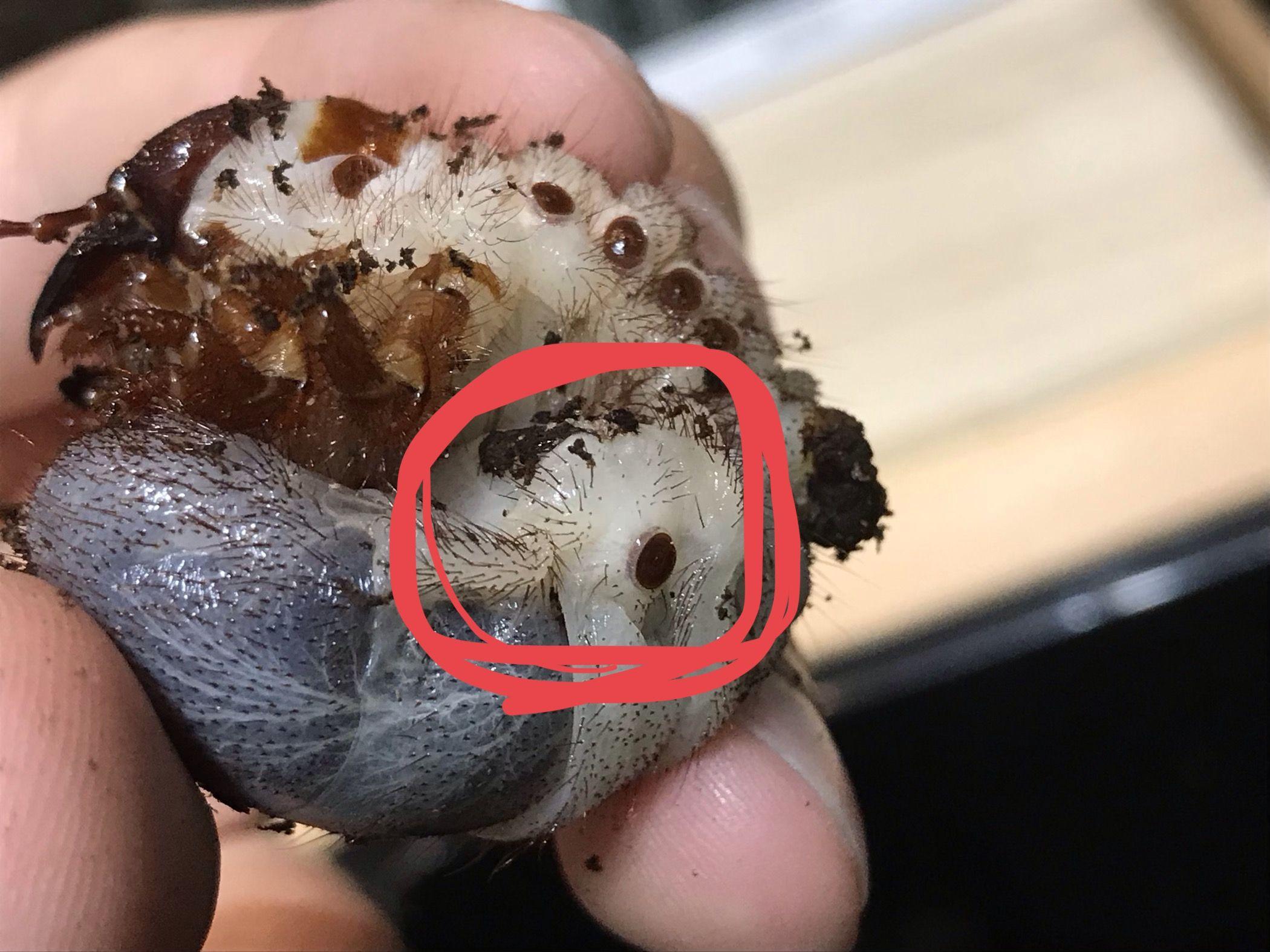 幼虫 病気 カブトムシ