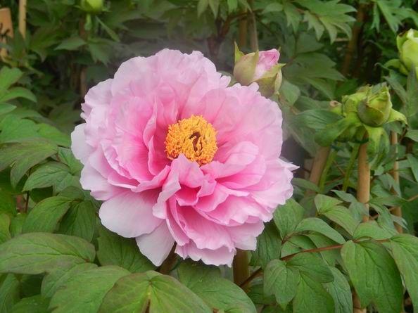 奈良 通称「花の寺」・長谷寺は牡丹の季節です