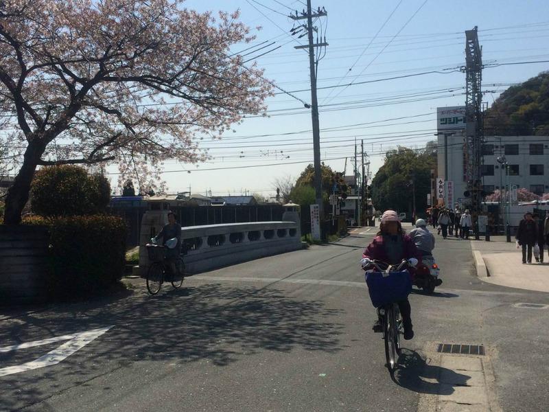 京都 八幡 背割堤 桜のフォト特集♪