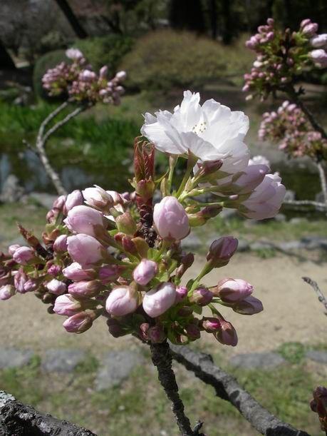 裸婦描画教室 11回目 & 4月12日火曜日の「京都御所『桜』」フォトいっぱいでお送り致します♪