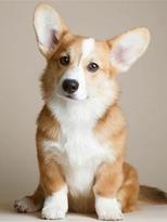 dog Corgi 1