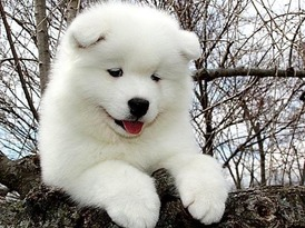 dog Samoyed 3
