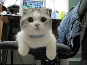 cat Scottish Fold 4