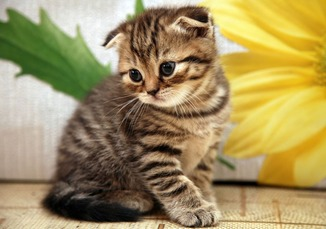 scottish Fold 1