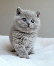 Cat British Shorthair 2