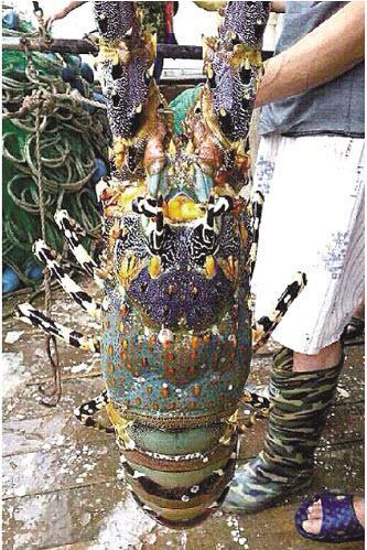 【中国】「神エビ」か? 長さ1メートル重さ3キロの伊勢エビを捕獲、売価1000万円超=浙江省(画像あり)