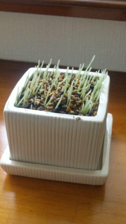 三日目で発芽した猫草