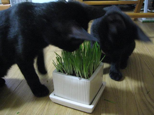 猫草にかぶりつく二匹
