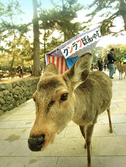 奈良公園の鹿 (6)