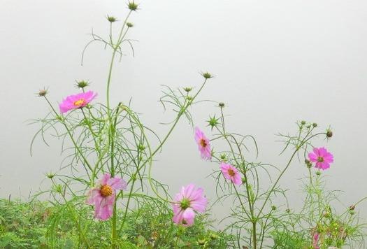 内山牧場の大コスモス園 (1)
