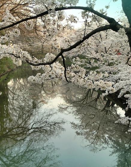 上田城址公園の桜_20170416 (2)