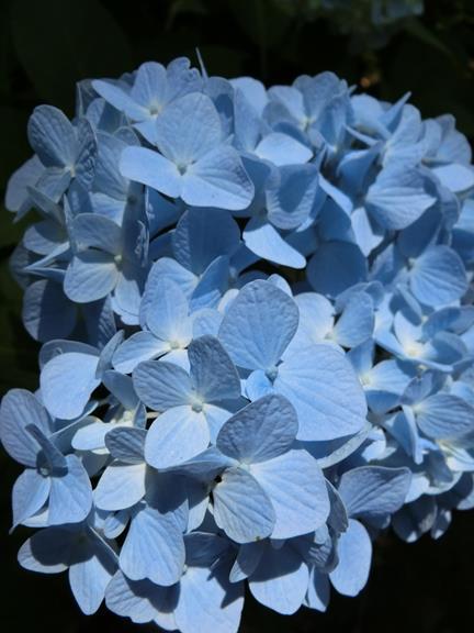 横浜の紫陽花 (2)