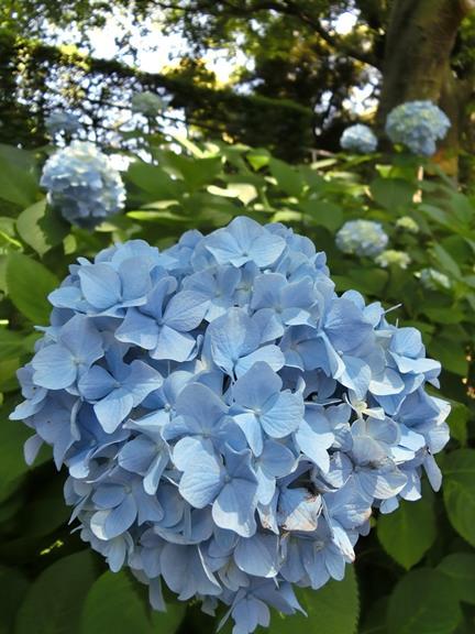 横浜の紫陽花 (1)