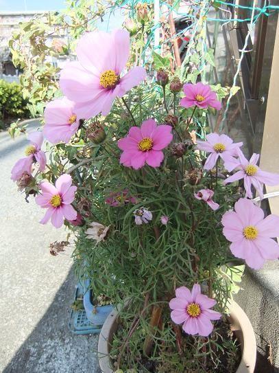 11月8日(日)家のコスモス咲いています。