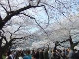 上野公園4月10日