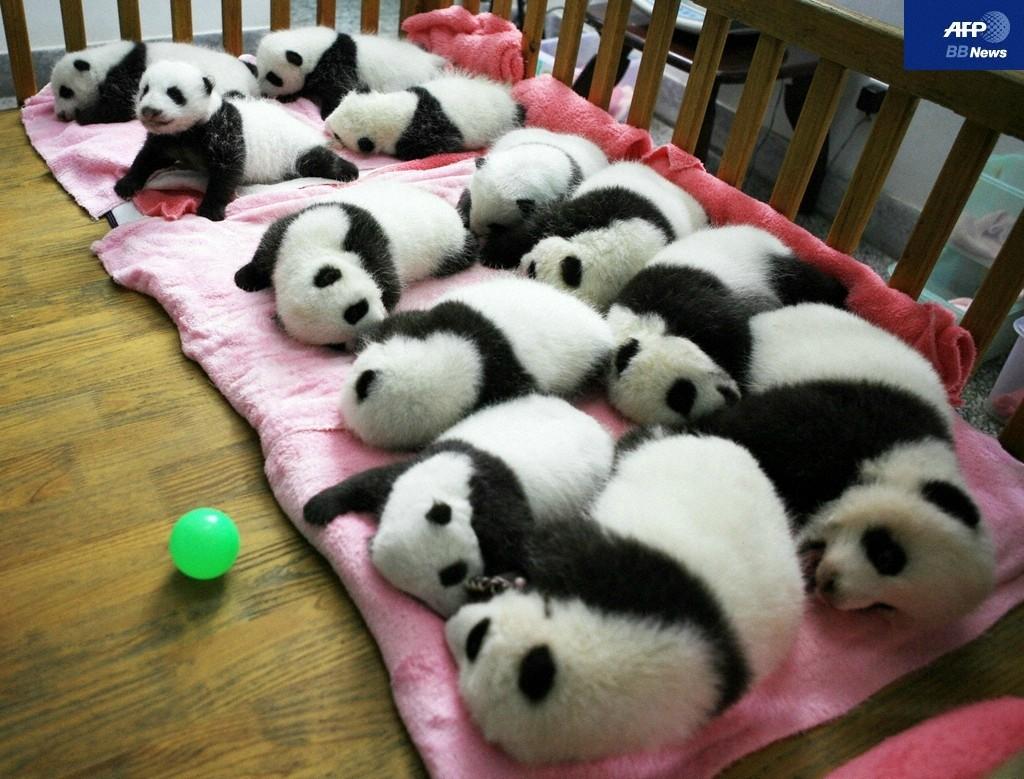 パンダの画像 p1_29
