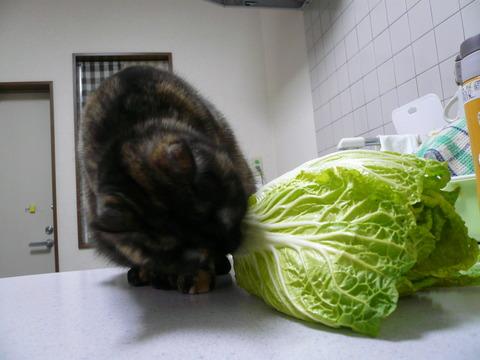 12白菜サビィ
