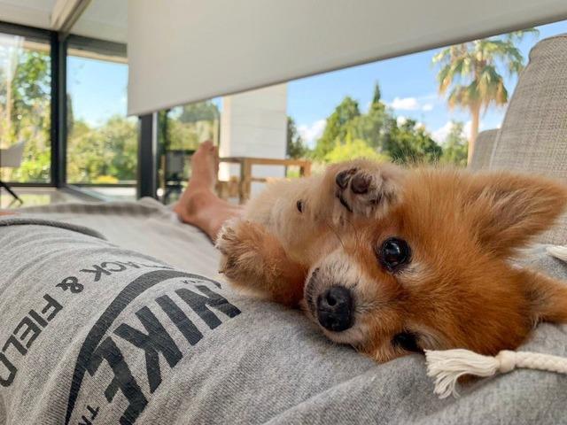 ◆画像◆トーレス師匠大好きサウル・ニゲスさん家に生まれた柴犬の赤ちゃんが可愛すぎる件