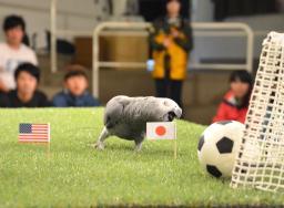 ◆女子W杯◆的中率100%インコのオリビアちゃん決勝は日本勝利と予想
