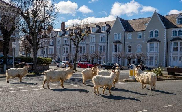 ◆悲報◆イギリスの街外出禁止でゴーストタウンならぬゴート(ヤギ)タウンになる