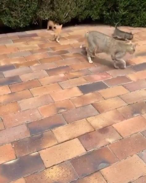 ◆動画◆香川真司さん宅に大量のネコが紛れ込む!