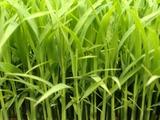 稲の苗20518