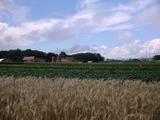 0821小麦畑