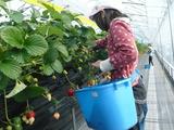 いちごのお世話をして収穫しよう