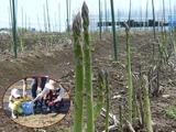アスパラ収穫
