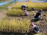 0923稲刈り6