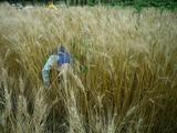0812小麦11