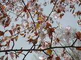 0518桜1