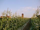 0808とうきび畑3