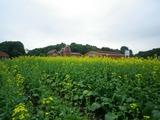 菜の花畑(圧縮)