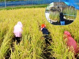 お米を収穫して「はさかけ」をしよう