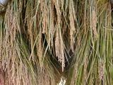0923稲刈り8