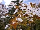 樹木(雪)