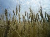 0812小麦12