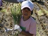0923稲刈り5