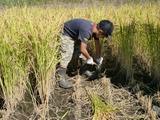 0923稲刈り2