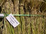 0923稲刈り10