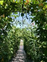 0814野菜トンネル2