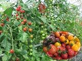 ①5色トマト