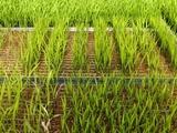 稲の苗(2)0506