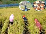 お米を収穫しておにぎりを作ろう