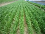 0615小麦