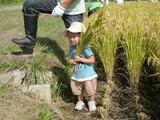0922稲刈り2